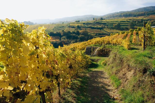 Krems vineyards